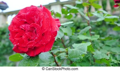 Big red rose on a green background close-up.