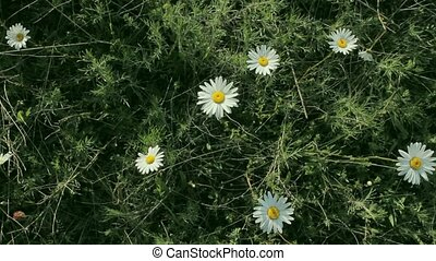 wild chamomile bush - wild chamomile swinging in the wind,...