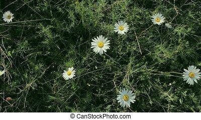 wild chamomile bush - wild chamomile swinging in the wind,...