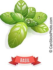 Leaves of Genovese basil, Thai basil, lemon basil or holy basil. Isolated on white background. Herb with water drops.