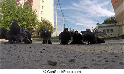 Pigeons eat seeds - Group of pigeons flew up to the camera...