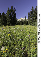 East Beckwith Mountain Wild Flowers in Gunnison National...