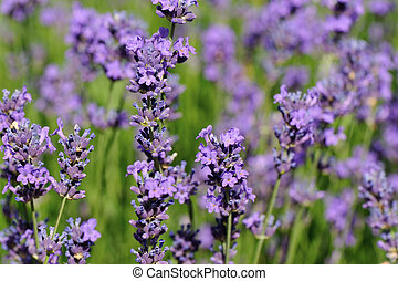 beautiful scented lavender flowers in growth at field