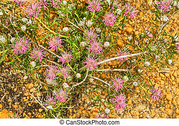 Wildflowers in Lesueur National Park, Western Australia,...