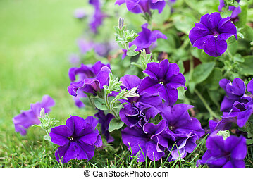 Petunia - Purple petunia in a garden- potplant
