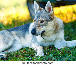 domesticated wolf dog resting relaxed on a meadow in shadow...