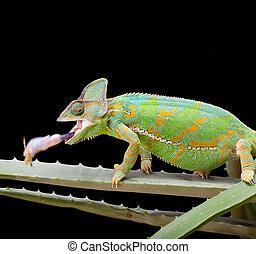 Yemen Chameleon - Yemen or Veiled Chameleon catching a...