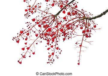 Illawarra Flame Tree flowers - Brachychiton acerifolius,...