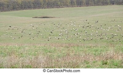 Flock of birds in the field