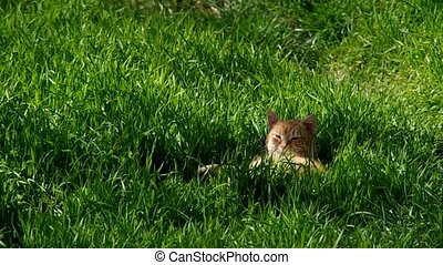 Cat lying in the grass - Redheaded cat lies on green grass