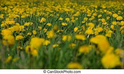 Meadow full of blooming dandelions in the spring