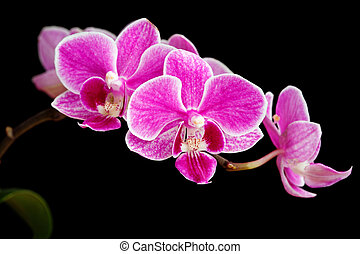 branch of pink orchids isolated on a black background
