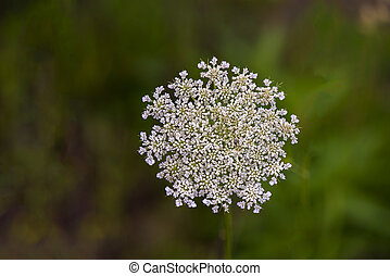 Wild Carrot (Daucus carota) - Wild carrot flower in full...