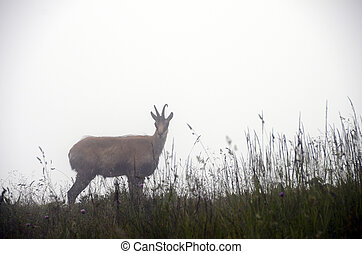 French alps Chamois in fog - French alps Chamois, goat...