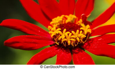 Beautiful red wildflower - Closeup on beautiful red...