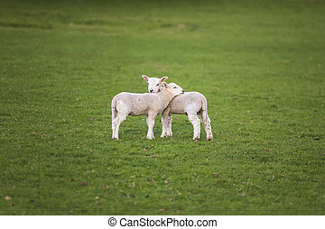 Spring Lambs Baby Sheep in A Field