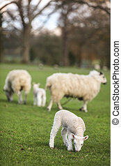 Sheep and Spring Baby Lambs in A Field