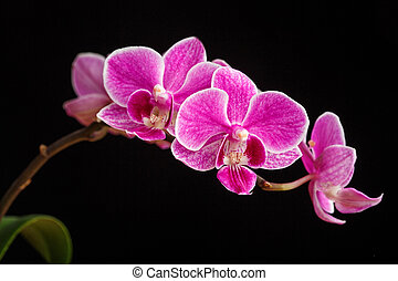 branch of pink orchids on a black background