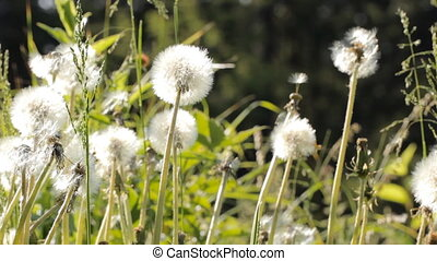 Spring meadow with dandelions. Ripe seeds of dandelions