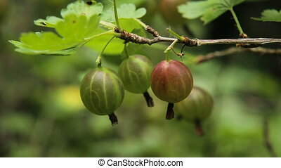 Gooseberry fruit on the branch in the garden - Grows ripe...