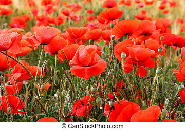 Red poppies - The summer meadow with red poppies flowers