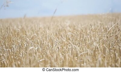 wheat field in the wind. slow motions.