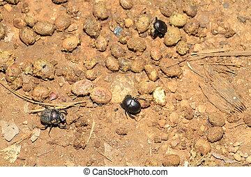 Dung beetle in Uganda