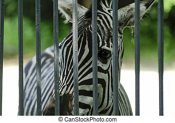 zebra in the zoo park. - zebra in the zoo park