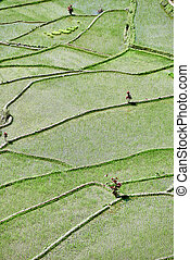rice paddy terrace fields Philippines - rice paddy terrace...