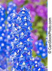 delphinium flower in the garden - blue delphinium flower...