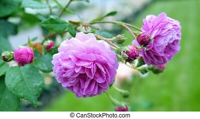 The buds of purple roses. Flowers sway in the wind and drifting to the fore.