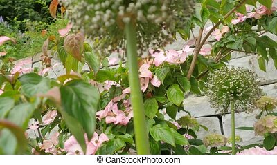 Round Still Unblown Flower Hydrangea. Camera Movement From...