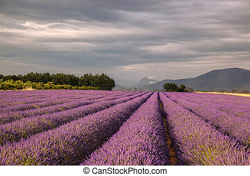 Provence with Lavender field at sunset, Valensole Plateau...