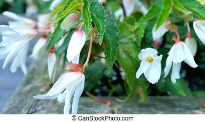 White flowers bluebells in the garden.