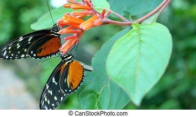 Two butterflies on orange flowers.