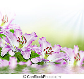 Colorful beautiful flowers lily on the background of the...