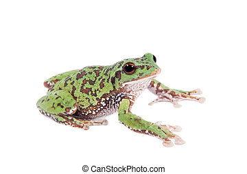 Japaneese forest green tree frog