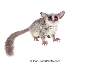 The Senegal bushbaby isolated on white - The Senegal...