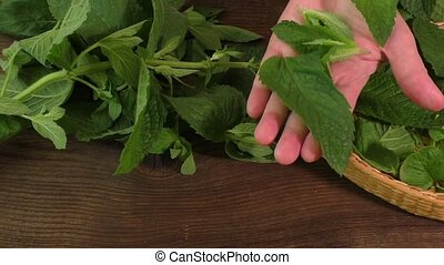 Leaves mint - Plucking leaves mint fresh medical herbs