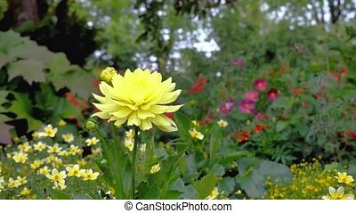 Yellow Dahlia on a background of other flowers in the...
