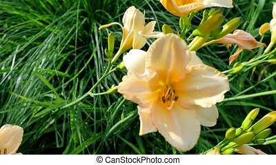 Yellow lily on a background of green grass.