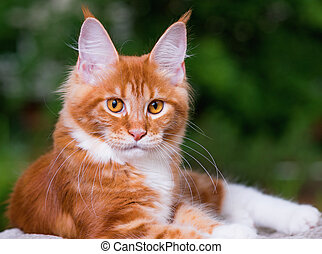 Maine Coon kitten - Portrait of domestic red Maine Coon...