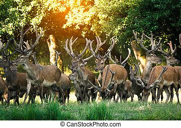 Herd of deer red