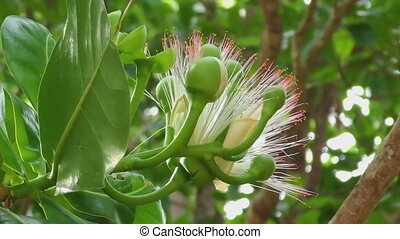 Flower of Fish poison tree - Insects fly around flower of...