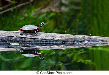 Painted Turtle - A painted turtle on a log in a pond A...