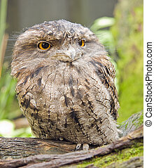 Tawny frog mouth - Tawny Frogmouth Podargus strigoides,...