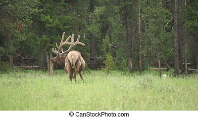 Large Bull Elk Western Wildlife Yellowstone National Park...