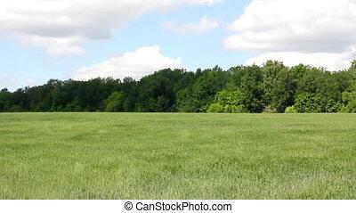 waving green wheat field