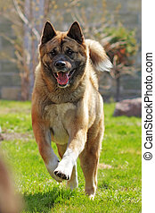 happy dog breed Akita inu is running in the summer right at...