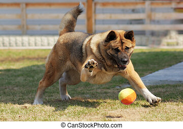dog breed Akita inu plays outdoors with a ball